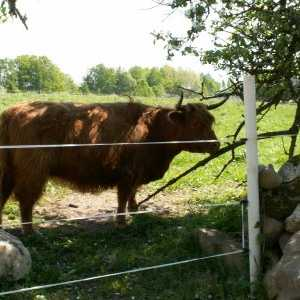 Japp, vi har kor ocks�!.. Yep, we have cows too!