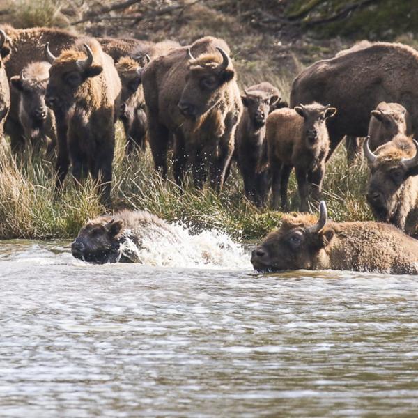 Swiming bison in Eriksberg Nature Reserve