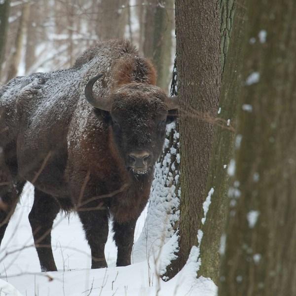 Vinter i Bialowieza Nationalpark