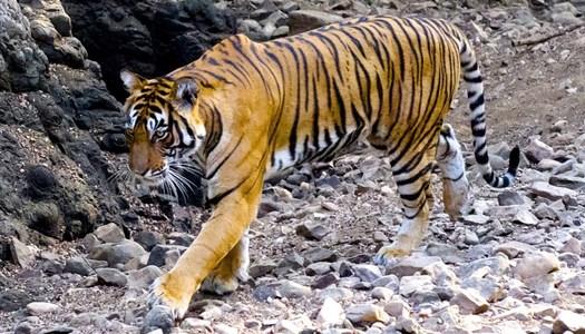 Bengalisk Tiger - Foto; Swed-Asia Travels